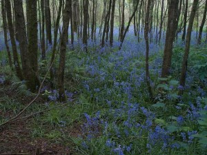 Bluebells among trees