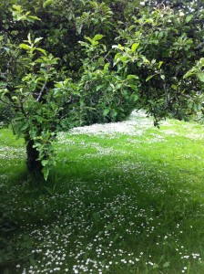 Apple tree with daisies
