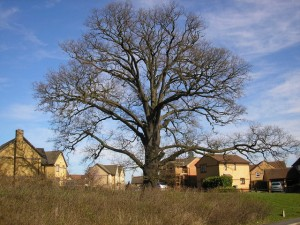 Photo of oak tree